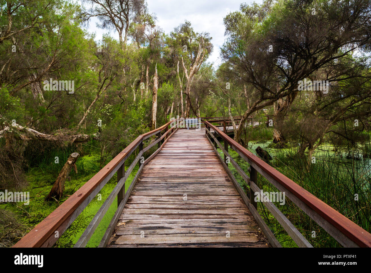 Boardwalk through Swamp paper bark (Melaleuca rhaphiophylla ) wetlands in Sir James Mitchell park in South Perth, Western Australia. - Stock Image