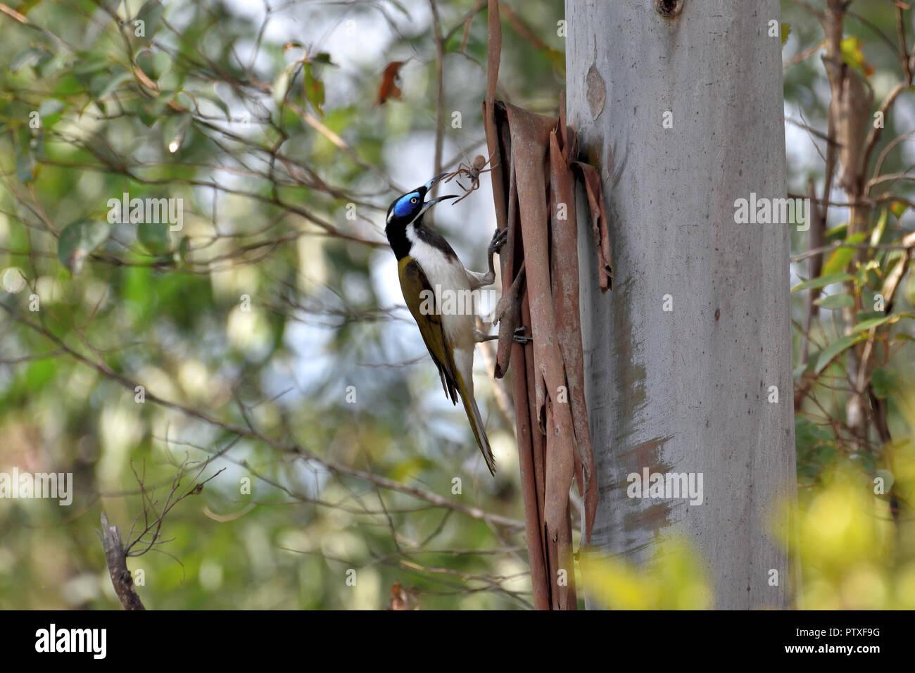 An Australian, Queensland Blue-faced Honeyeater ( Entomyzon cyanotis ) grabbing at a spider to eat - Stock Image