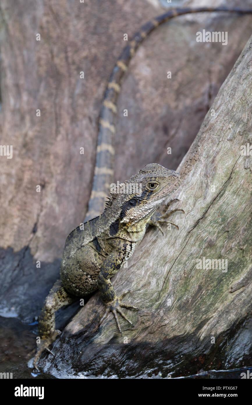 1022e2842c0da8 Reptiles at Australia Zoo Stock Photo  221859631 - Alamy