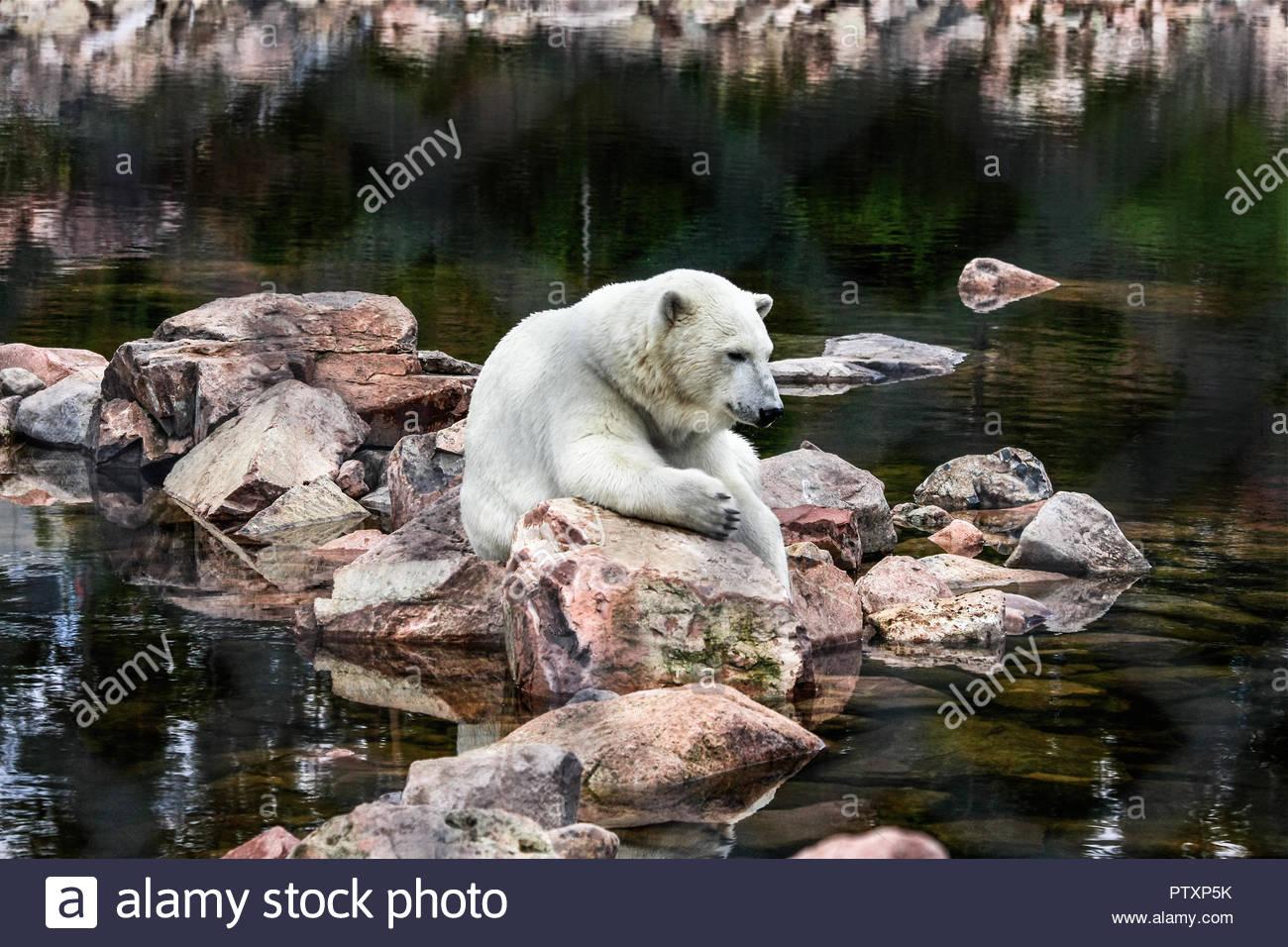 Polar Bear lives in the Swedish Bear Park in Orsa / Dalarna - Stock Image