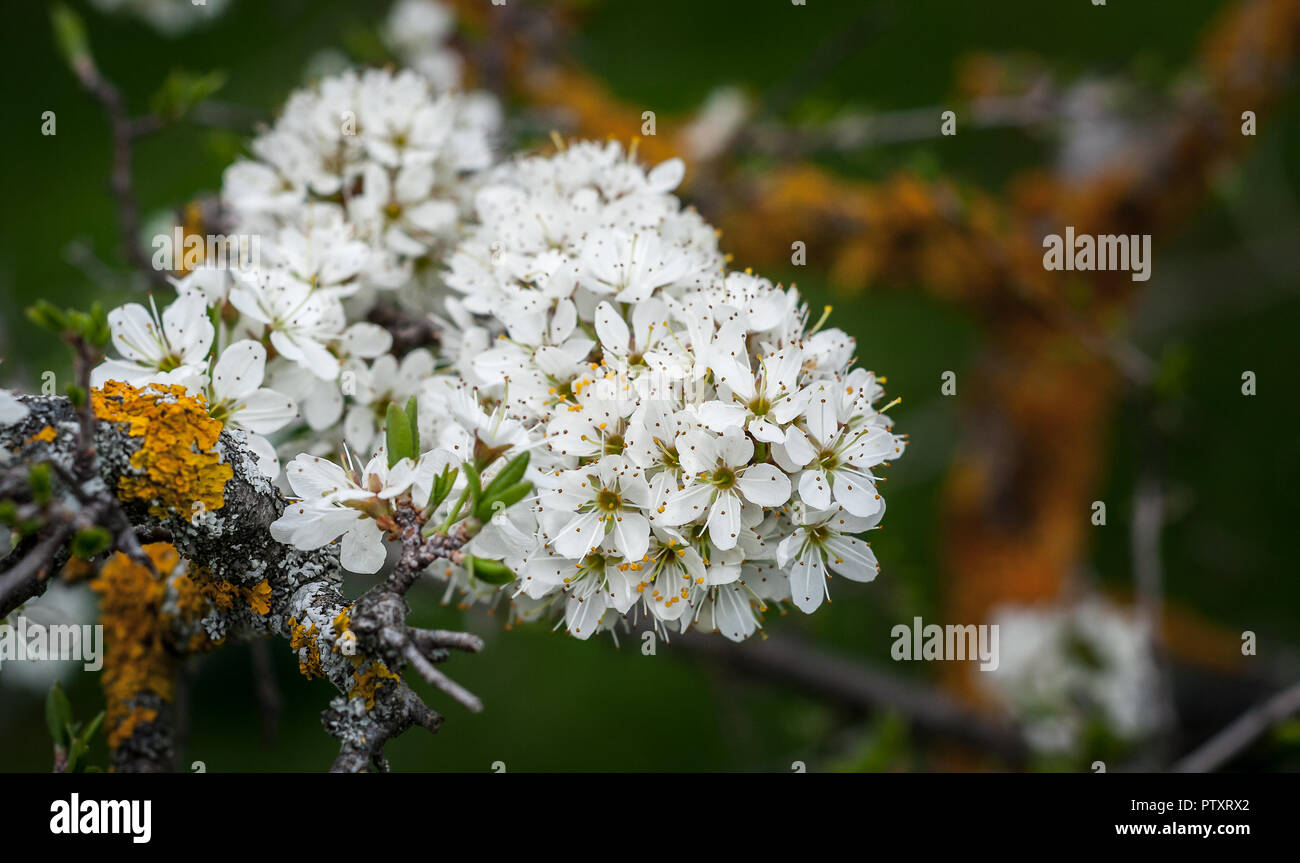 White Oak Tree Flowers Spring Bloom Close Up With Green Foliage And