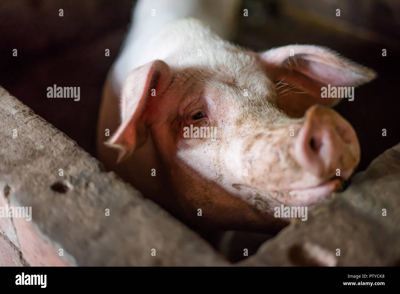 Pig close up portrait in a farm - Stock Image