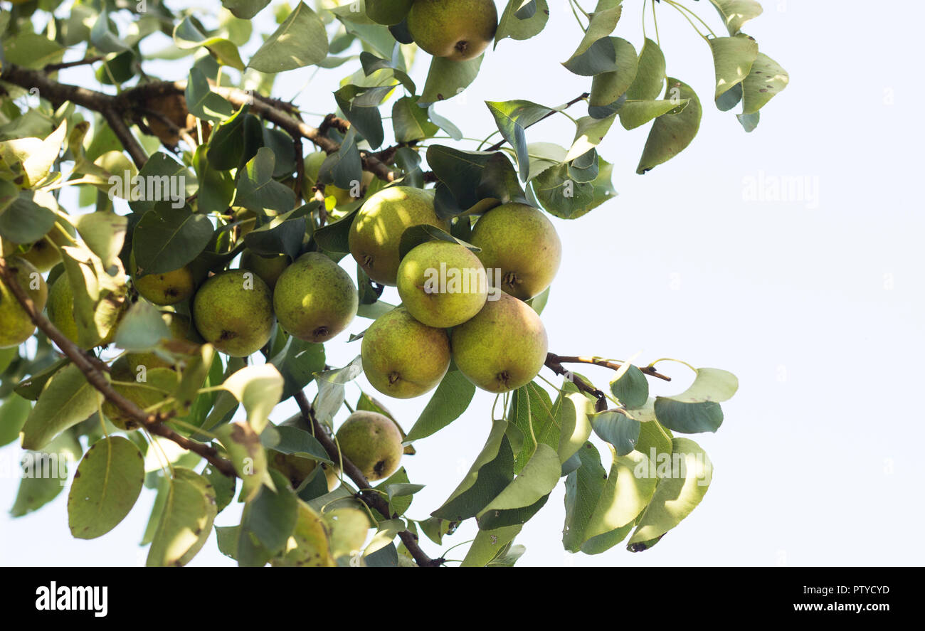 Pear tree, a branch on which grow pears, close-up, punchbag - Stock Image