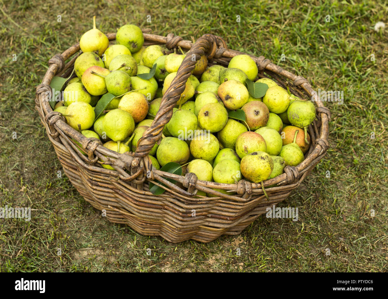 Wicker basket full with pears standing on the grass, fruit, punchbag - Stock Image