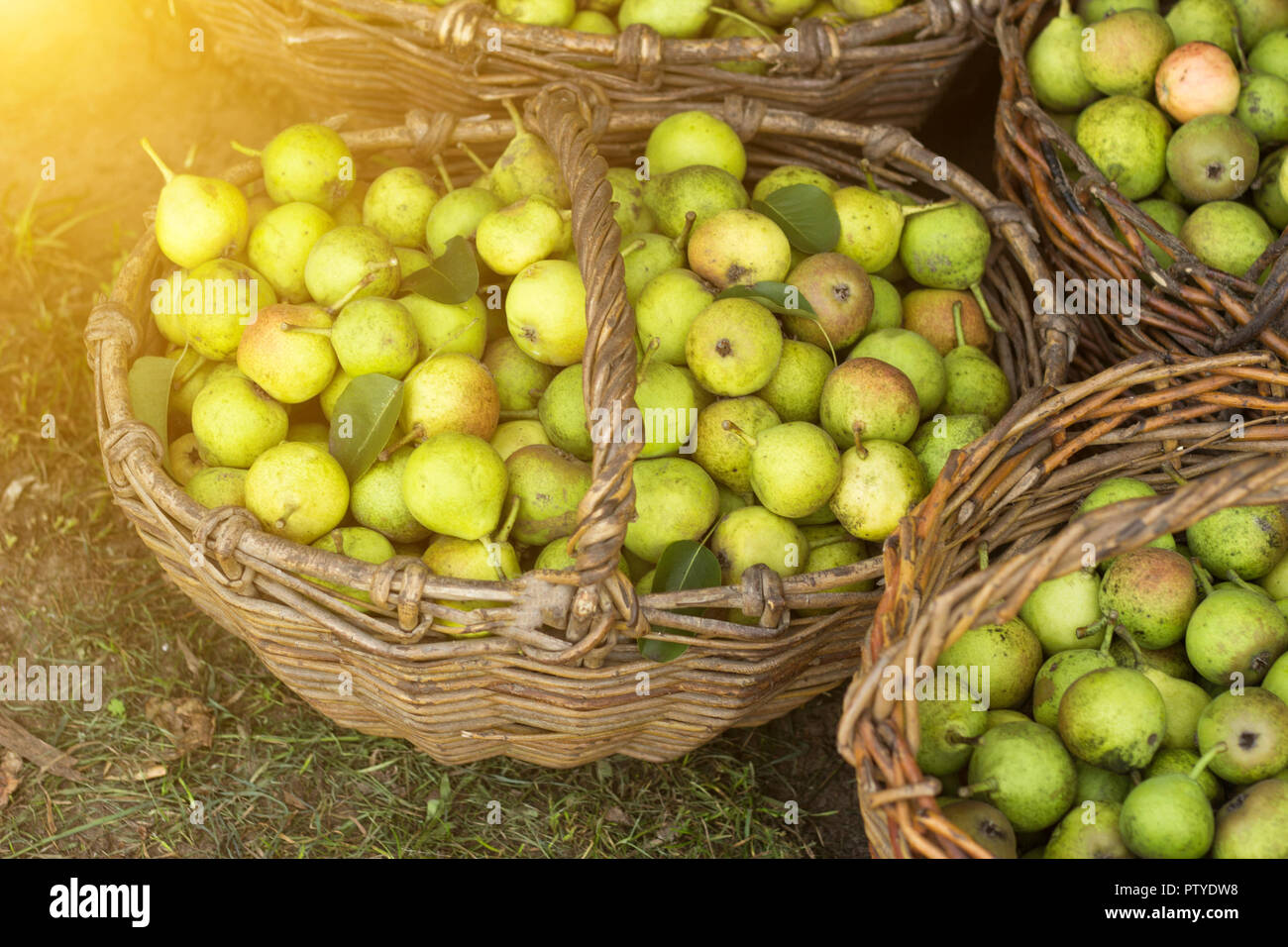 several baskets with pears standing on grass, the sun - Stock Image