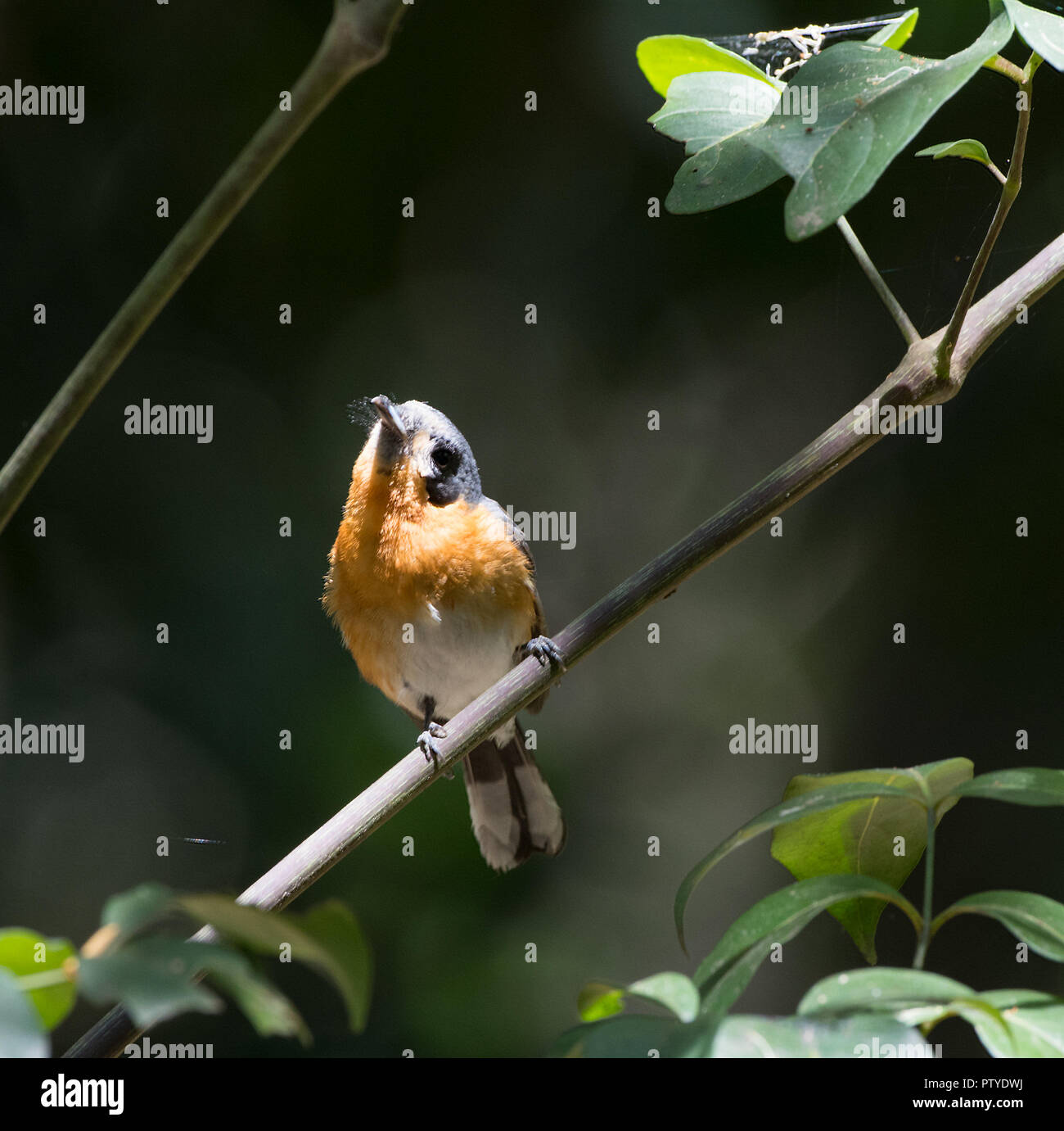 Spectacled Monarch (Monarcha trivirgatus) perched on a branch in woodland, Atherton Tablelands, Far North Queensland, FNQ, QLD, Australia - Stock Image