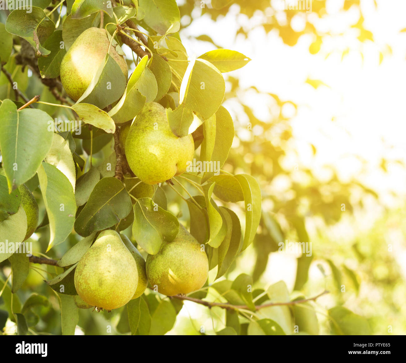 Pear tree, a branch on which grow pears, close-up, the sun - Stock Image