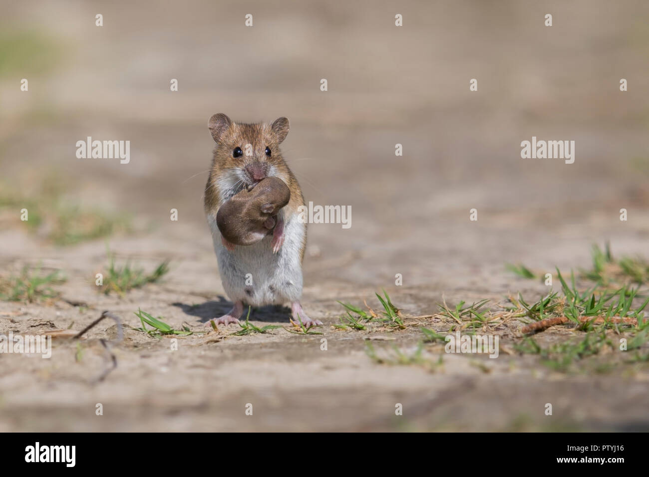 Striped Field mouse and its Young - Stock Image