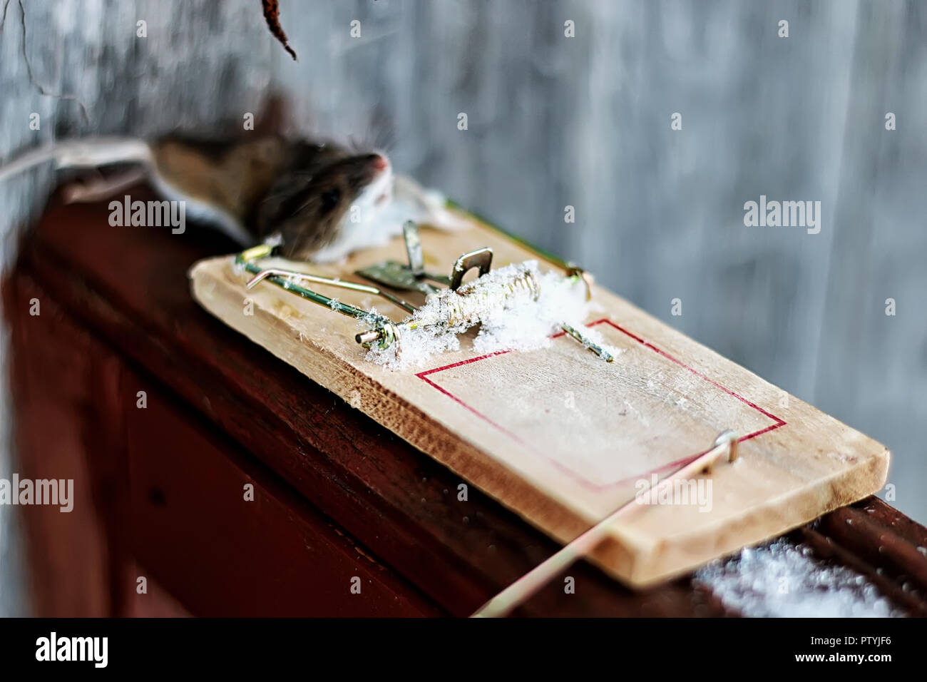 mouse in a mousetrap field - Stock Image
