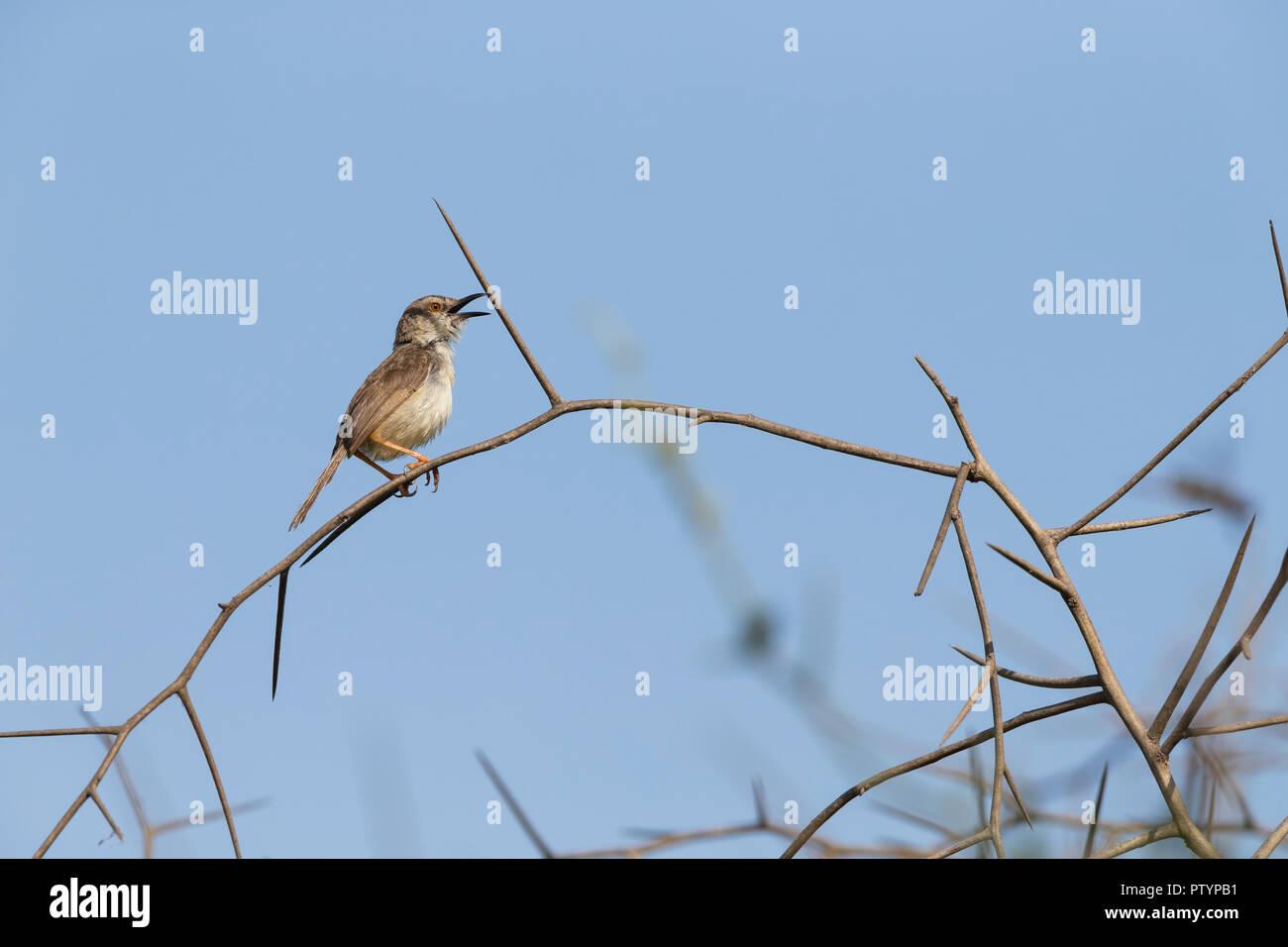 Tawny-flanked prinia Prinia subflava, perched in thorny scrub & singing, Kartong Wetland, Gambia, November - Stock Image