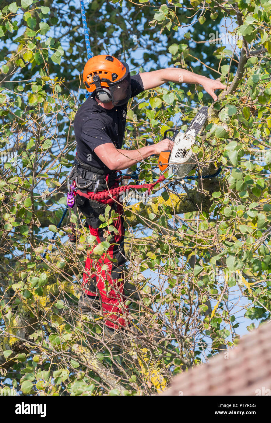 Tree feller up a tree in Autumn, secured by a rope, using a saw to trim a tree, in the UK. Tree surgery. Tree felling. Tree surgeon. Tree surgeon. - Stock Image
