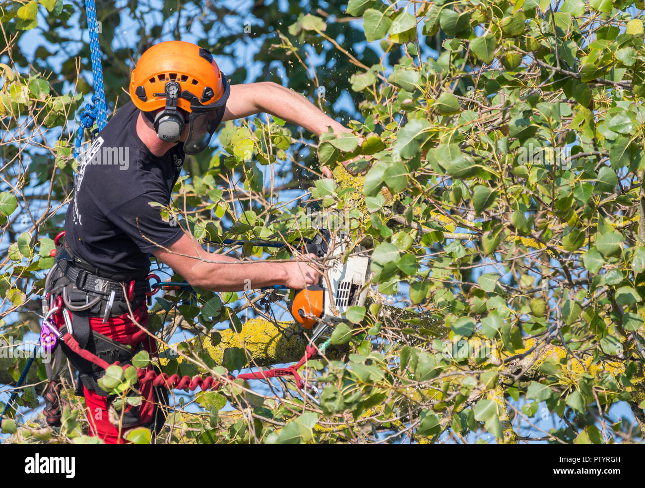 Tree surgeon in a tree in Autumn, secured by a rope, using a saw to trim a tree, in the UK. Tree surgery. Tree felling. Tree feller. - Stock Image