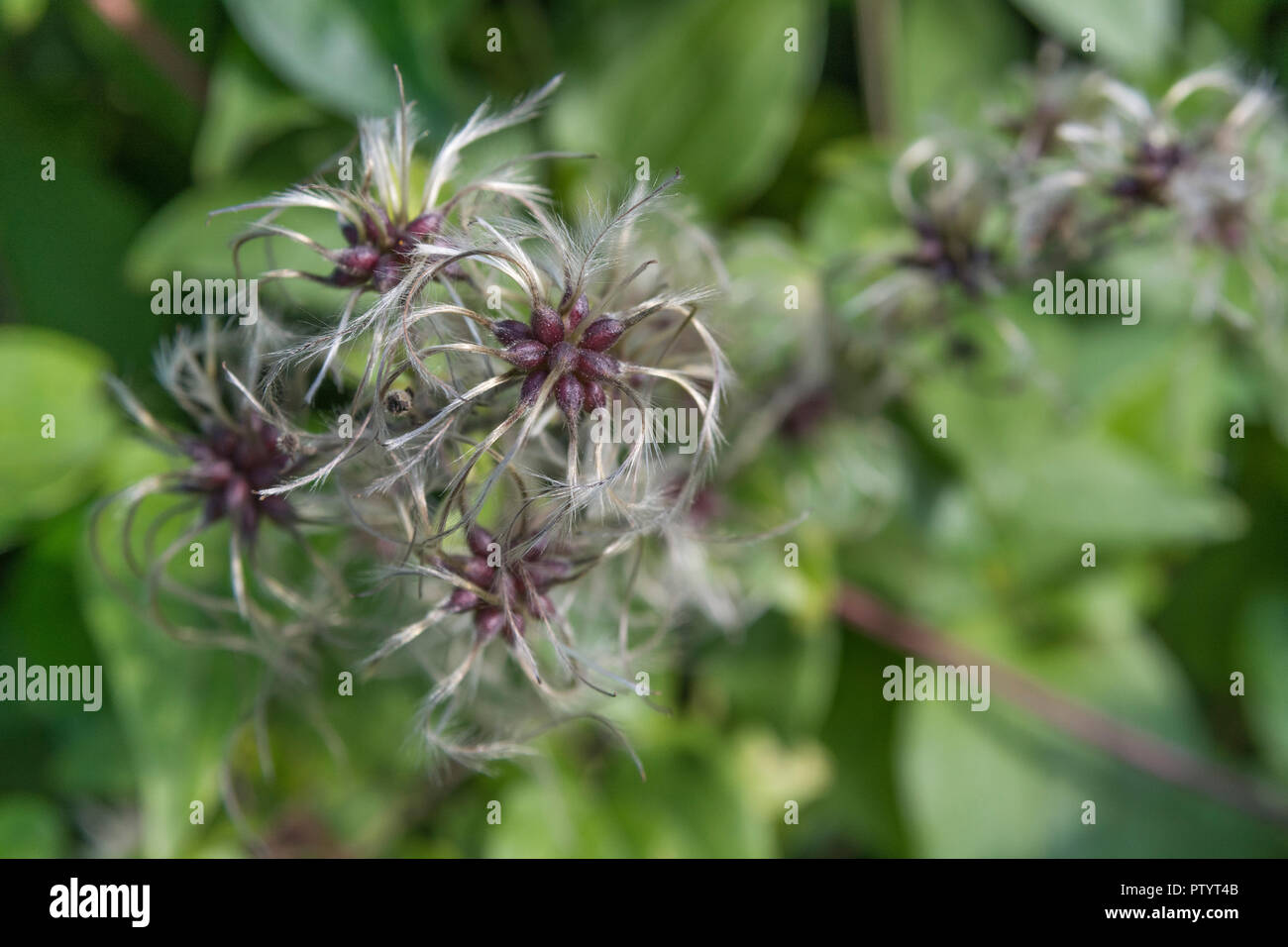 Traveller's Joy / Clematis vitalba - Wild Clematis - in flower. Parts of C. vitalba used as a medicinal plant in herbal remedies. - Stock Image