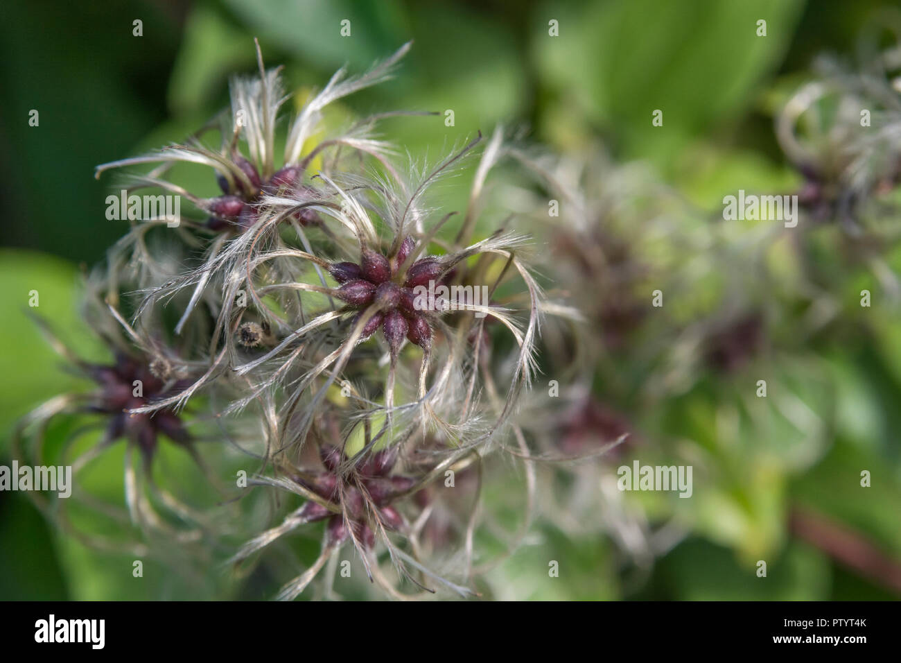 Traveller's Joy / Clematis vitalba - Wild Clematis - in seeding mode. Parts of C. vitalba used as a medicinal plant in herbal remedies. - Stock Image