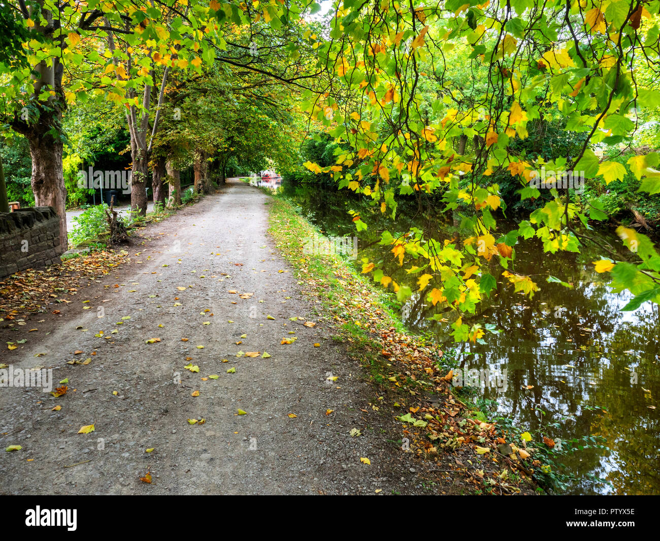 Autumn tree overhanging the towpath by the Leeds and Liverpool Canal at Saltaire West Yorkshire England - Stock Image