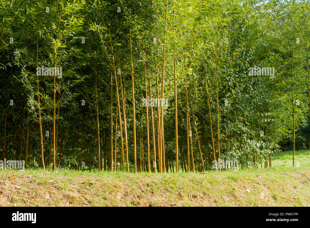 Bamboo trees bathed in autumn sunshine, UK - Stock Image