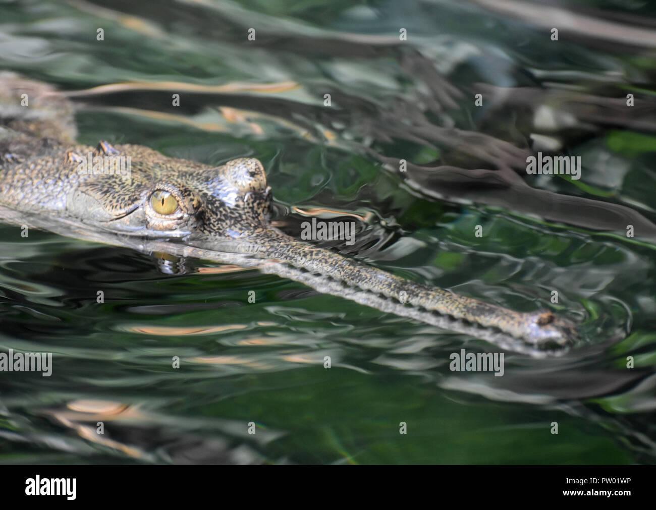 Menacing gavial crocodile in a river. - Stock Image