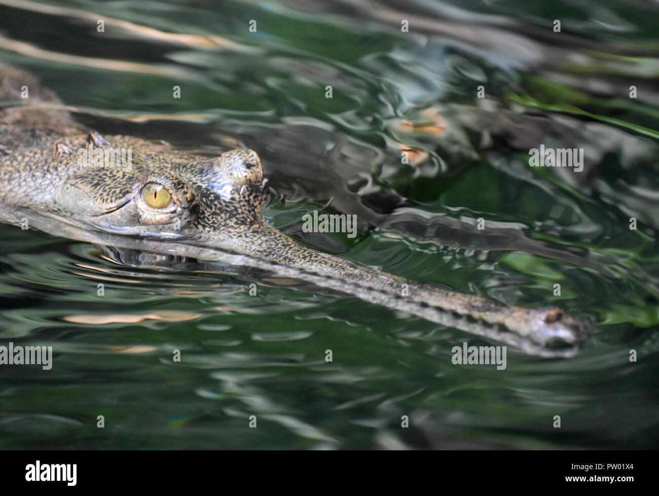Menacing looking gavial crocodile in a river. - Stock Image