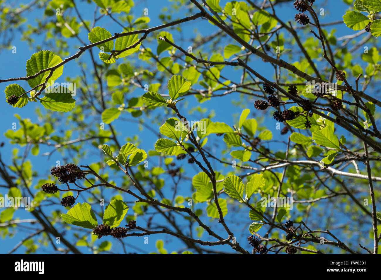 Green young black alder leaves in sunny day - Stock Image
