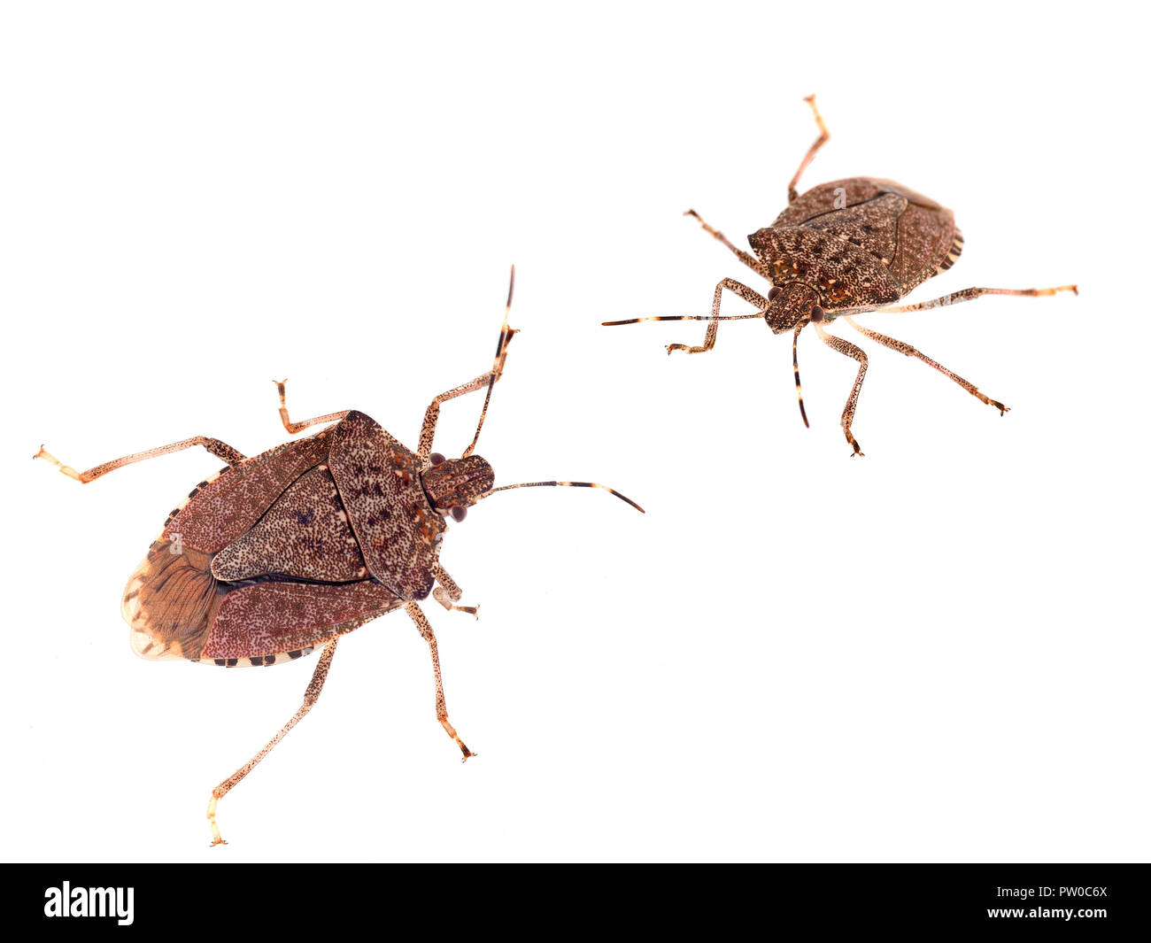 Brown marmorated stink bugs Halyomorpha halys, an invasive species from Asia. On white background. Stock Photo