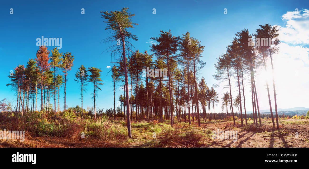 Interesting evergreen trees in the summer sky - Stock Image