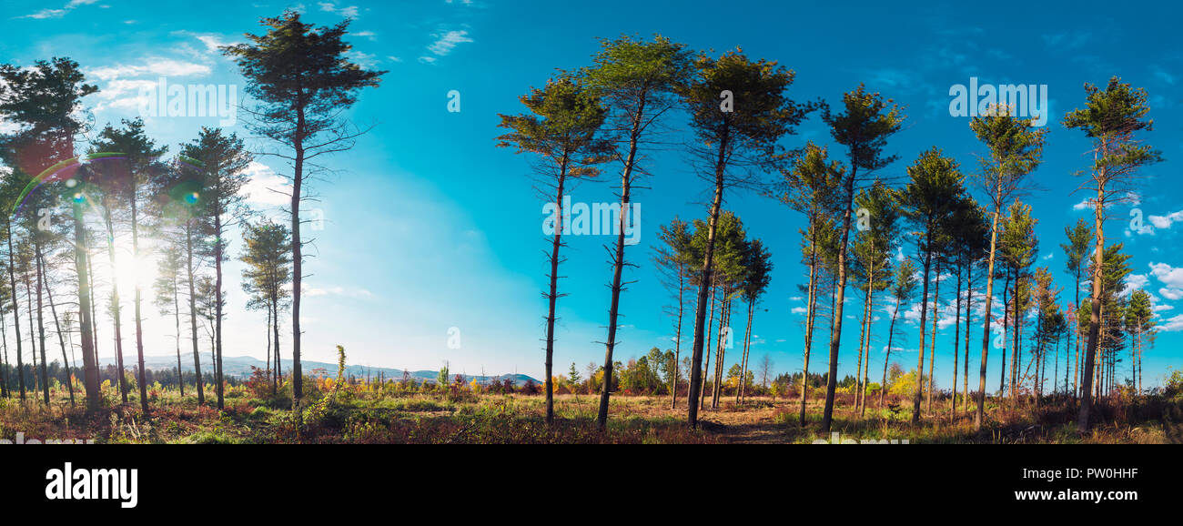 Interesting evergreen trees in the summer sky panorama - Stock Image
