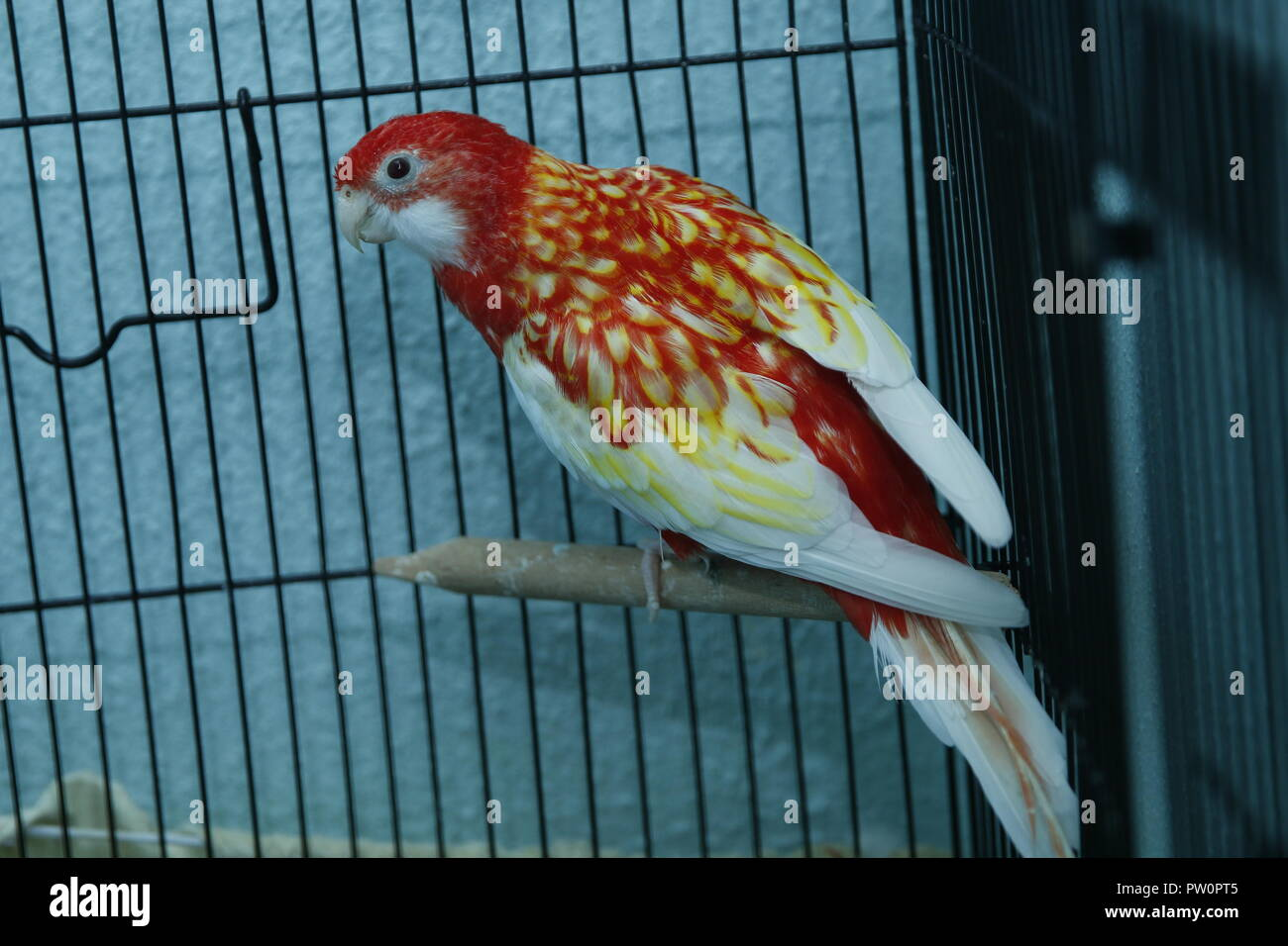 Budgie . Parakeets . Green wavy parrot sits in a cage . Rosy Faced Lovebird parrot in a cage . birds inseparable . Budgerigar on the cage. Budgie para - Stock Image