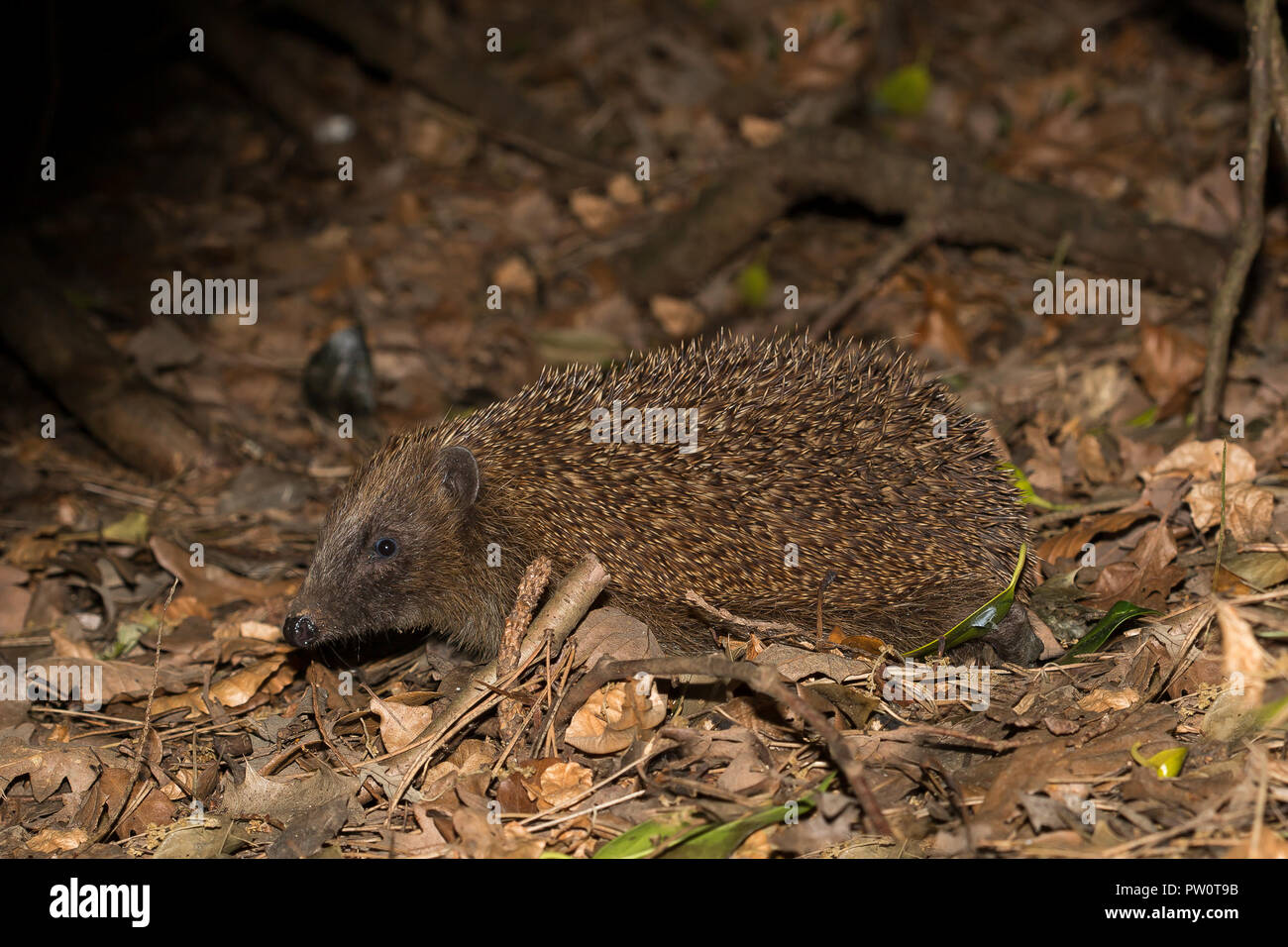 Detailed, close-up, side view of single, British hedgehog (erinaceus europaeus) isolated, foraging in leaves, outdoors in dark woodland undergrowth. Stock Photo
