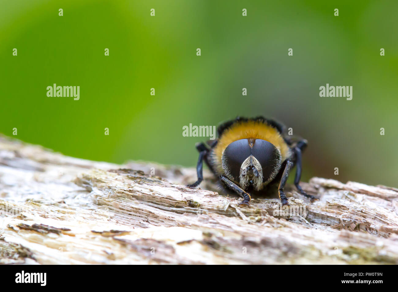 Detailed close up (macro photography) of wild bumblebee isolated on wood in natural setting. Front-facing bee shows two compound eyes in macro detail. - Stock Image