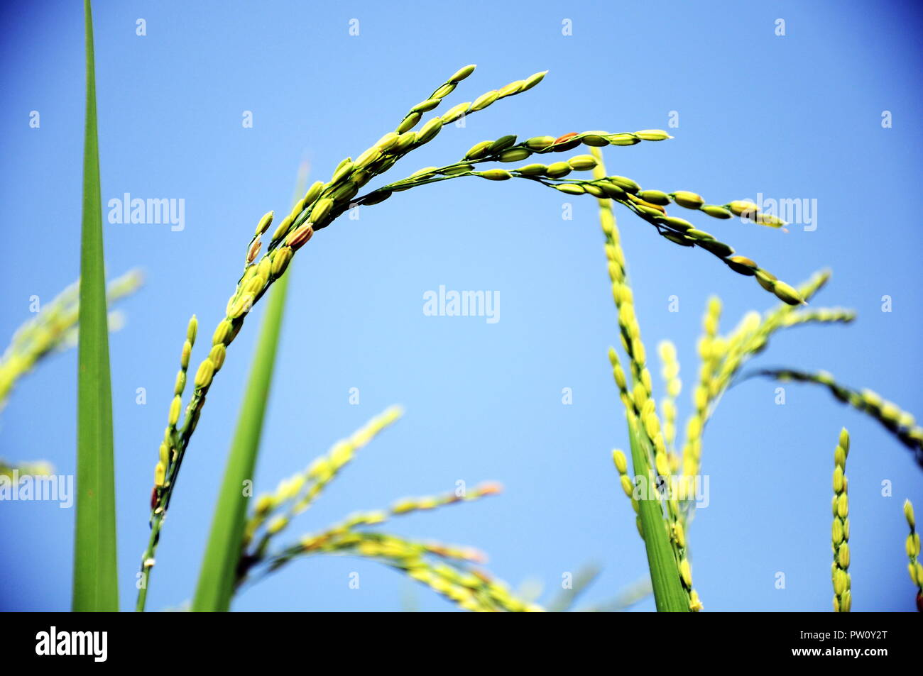 The rice - crop in Mu Cang Chai, Viet Nam - Stock Image