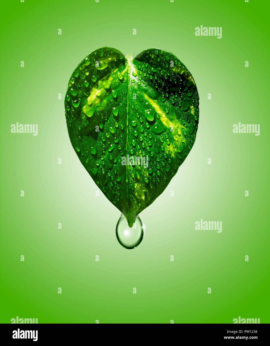 Concept A leaf of Golden Pothos Plant with Water Drops Drips, Hydration, Moisturizing, Cosmetics - Stock Image