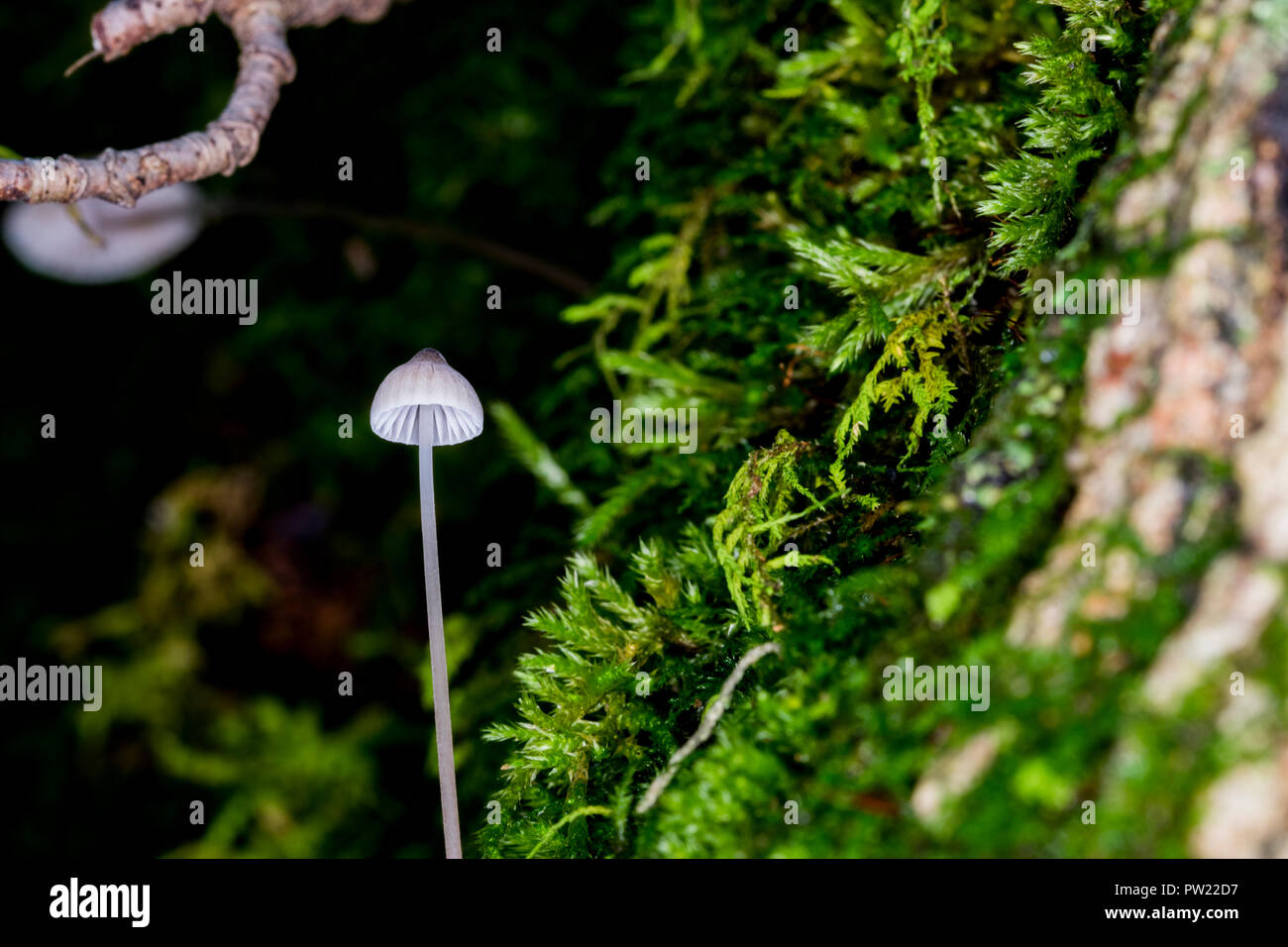 Little white mushroom growing on wood around moss in the forest. Tiny single white toadstool mushroom close up. Mycena erubescens gilled fungi in its Stock Photo