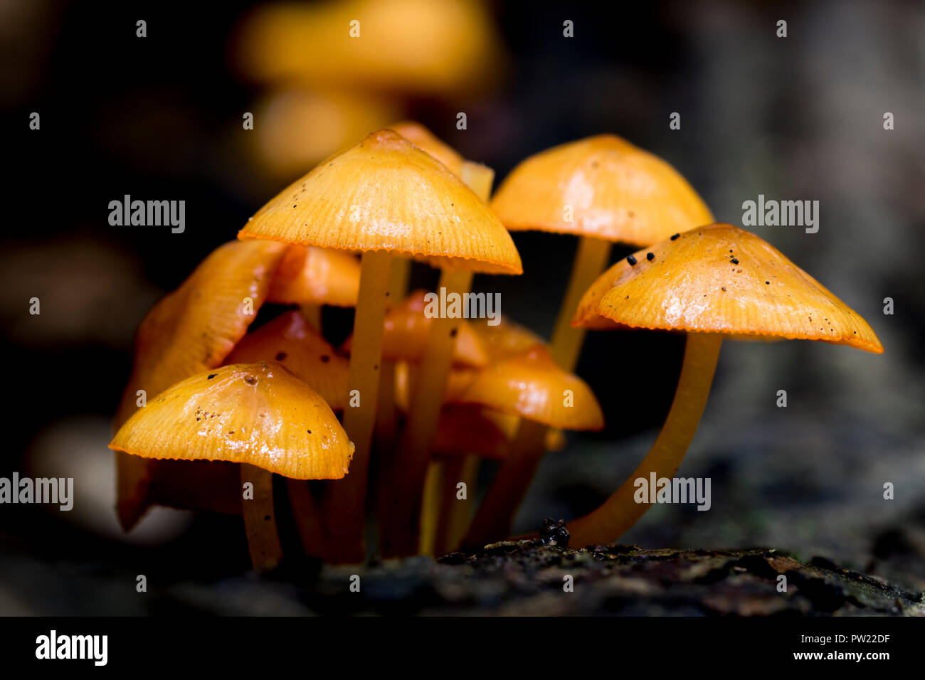 Extreme close up of tiny orange Mushrooms on the forest floor. Autumn fungi growing outdoors in nature. Stems and caps of Mycena Leaiana mushrooms. - Stock Image