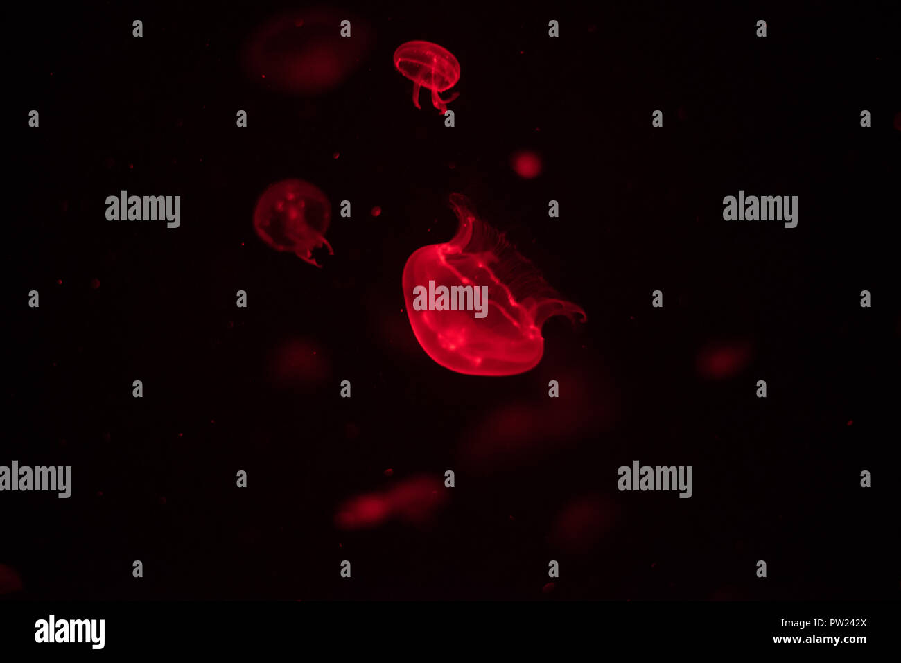 Red jellyfish in dark aquarium with many other jellies floating on the background - Stock Image