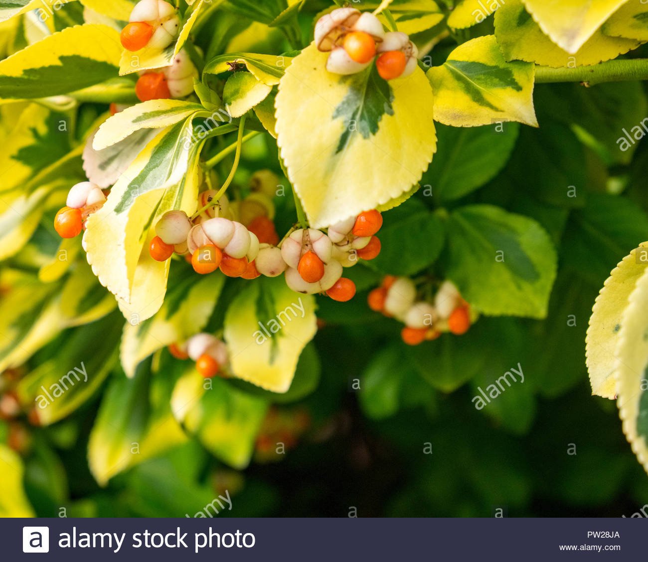 Euonymus fortunei  (Fortune's spindle, winter creeper) seeds ripening in autumn. Stock Photo