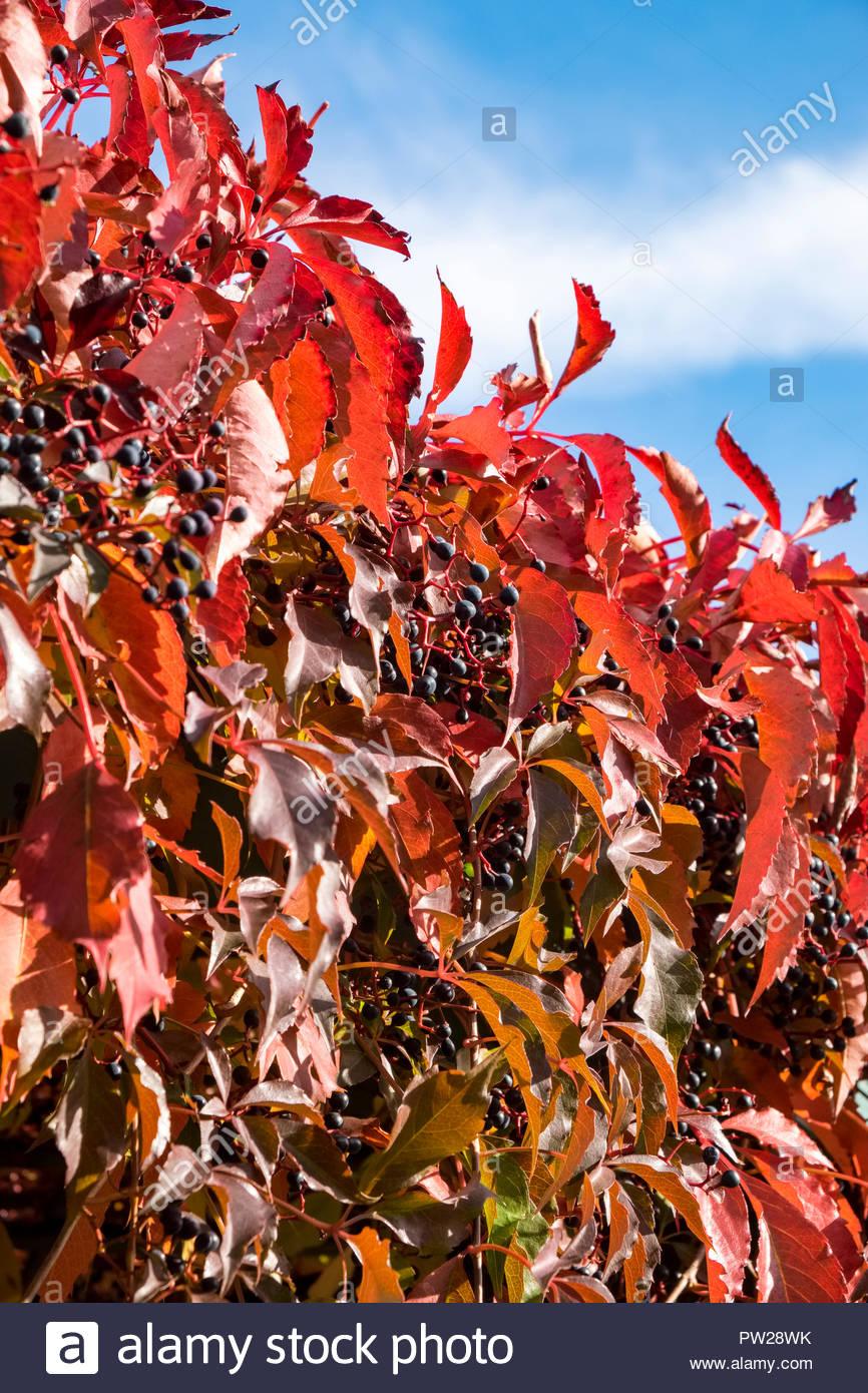 Leaves of Virginia creeper — Parthenocissus quinquefolia — in autumn Stock Photo