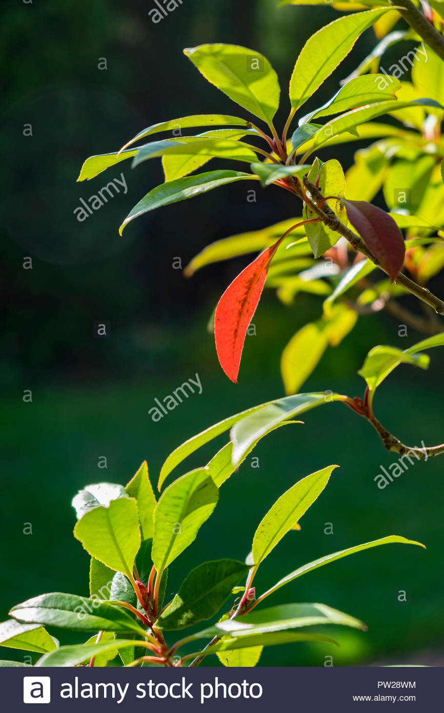 Photinia fraseri, Red Robin, ornamental, tree, shrub, showing leaf in October, Germany. Stock Photo
