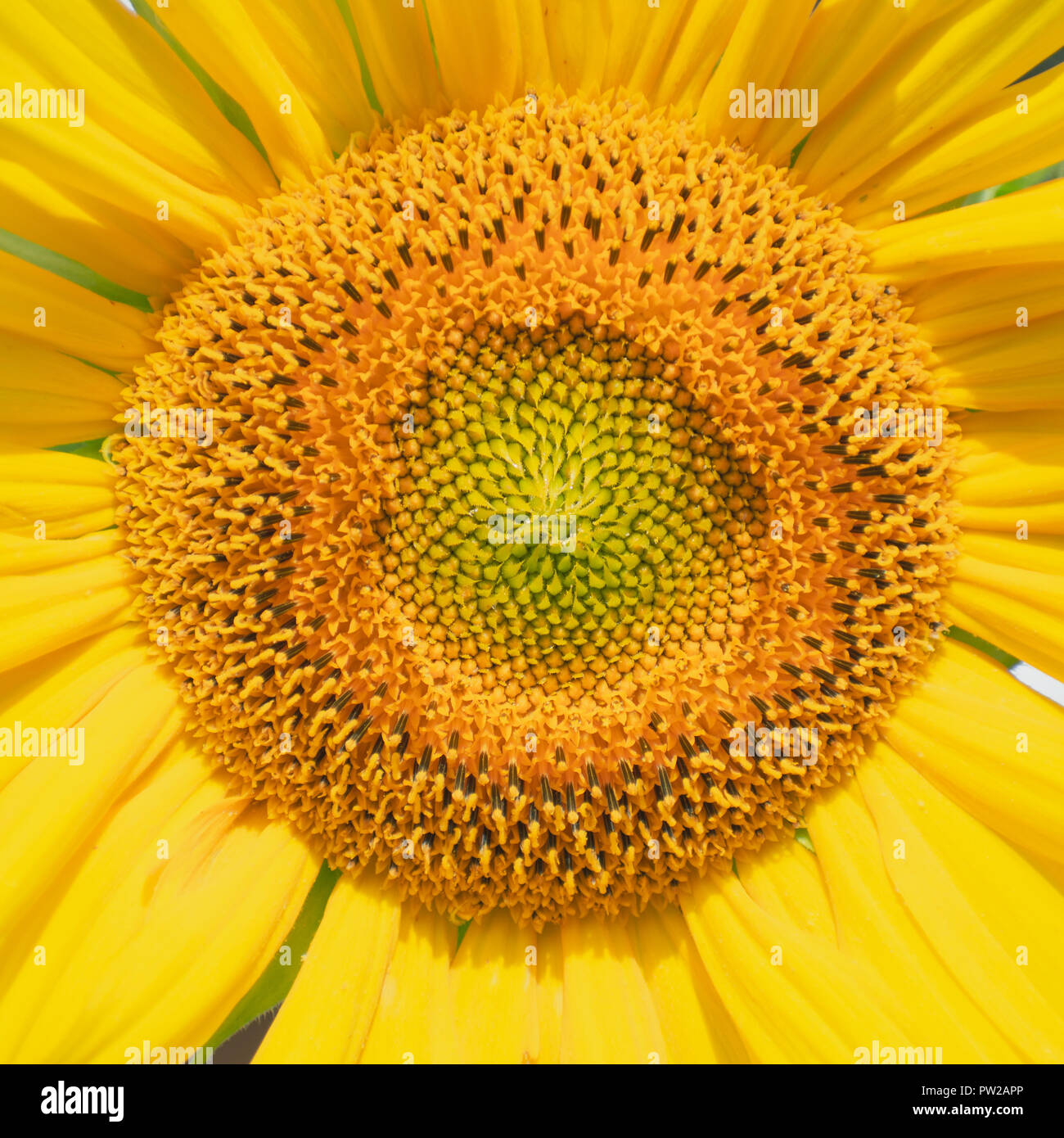 Sunflower head, showing the numerous disk flowers in the centre - Stock Image