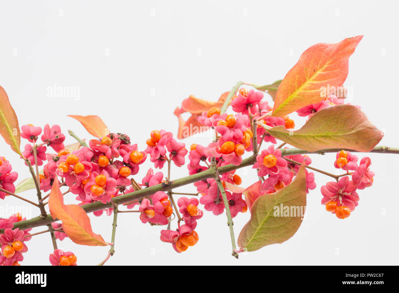 Fruit and seeds of the Spindle tree, Euonymus europaeus, photographed in a studio on a white background. North Dorset England UK GB. - Stock Image