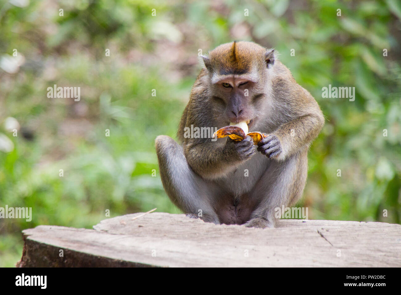 Macaques on the island of Borneo - Stock Image