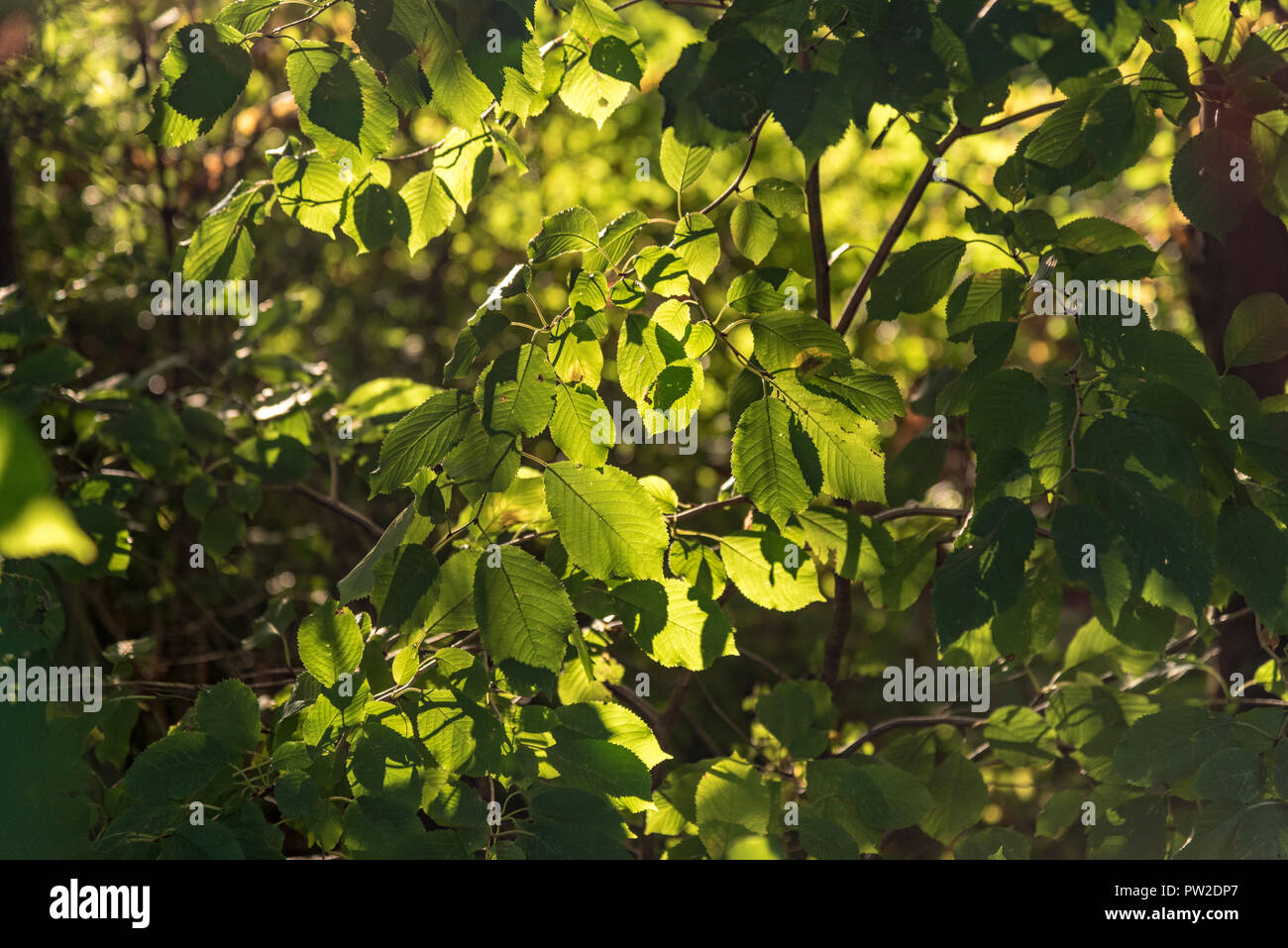 Leaves in dappled backlight autumn colours - Stock Image