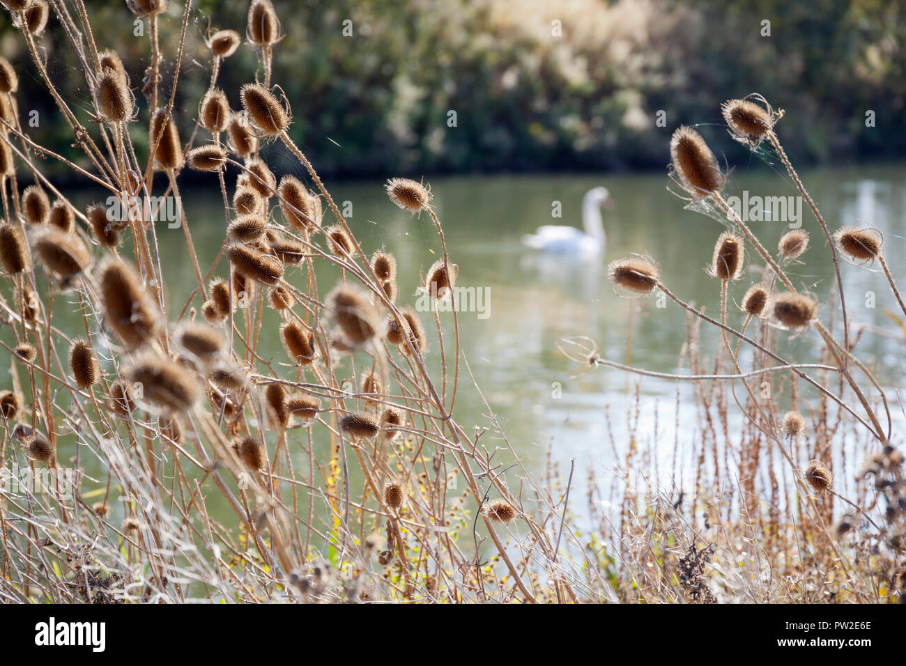 Teasels along riverbank of the River Thames with blurred swan behind - Stock Image
