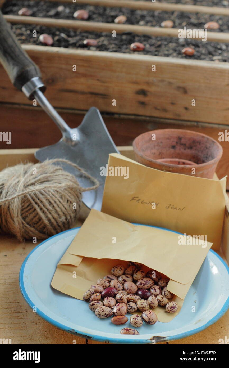 Borlotti beans seeds 'Lingua di fuoco' variety in paper envelope potting shed ready to plant out, UK - Stock Image