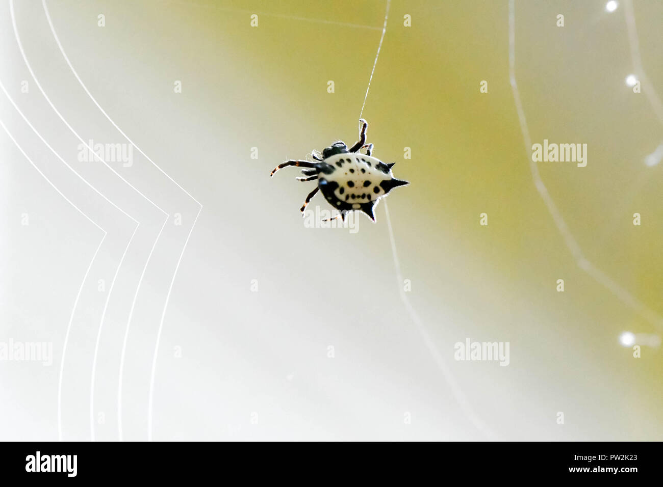 A spiny backed orb weaver spider spinning its web, Marietta, Georgia, USA - Stock Image