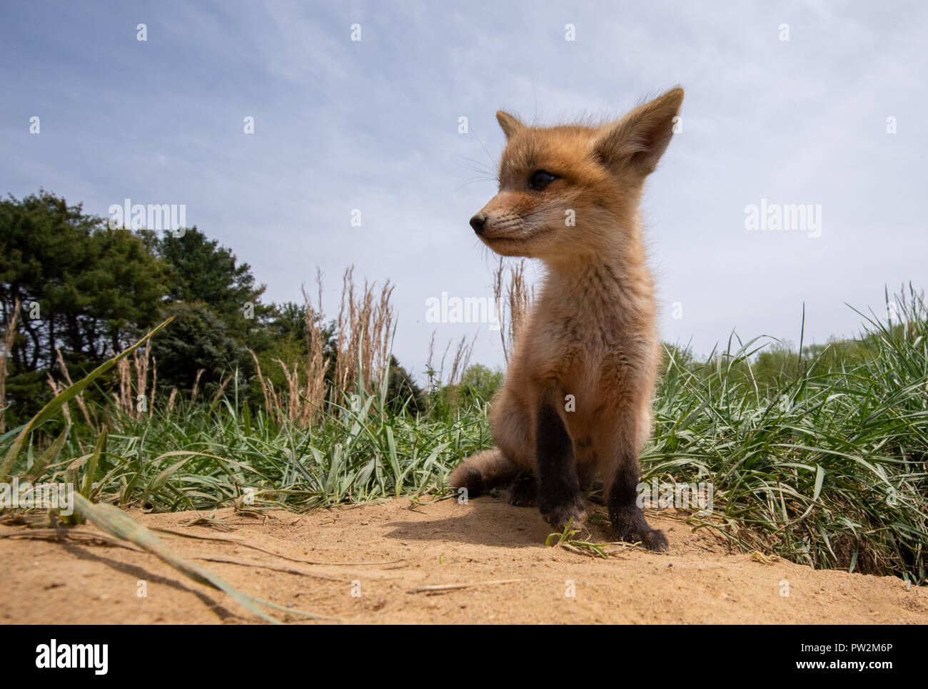 Fox Kits playing in the field - Stock Image