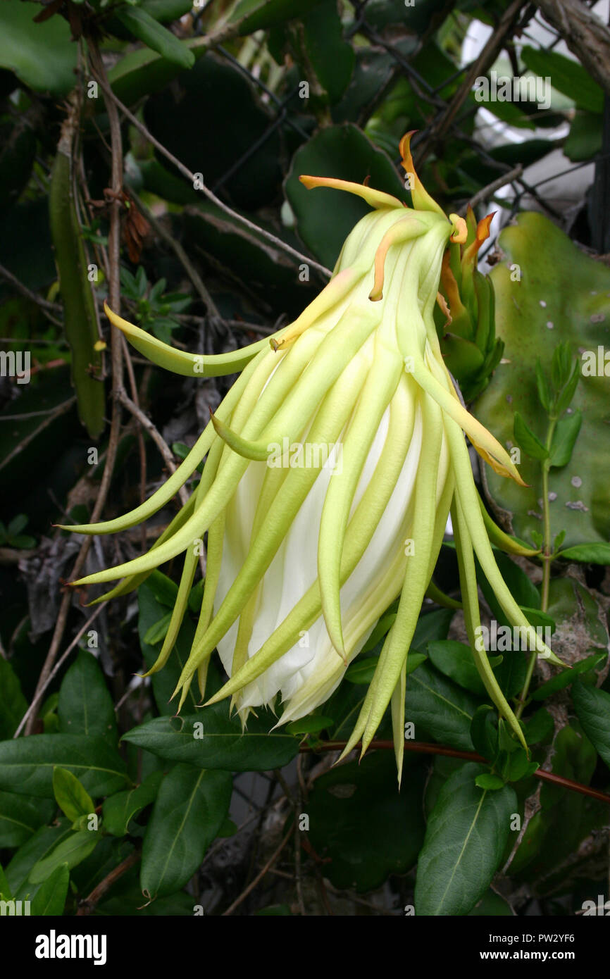 CLOSE-UP OF THE UNOPENED FLOWER OF HYLOCEREUS UNDATUS (WHITE-FLESHED PITAHAYA) GROWN AS ORNAMENTAL VINE OR FOR THE FRUIT - Stock Image