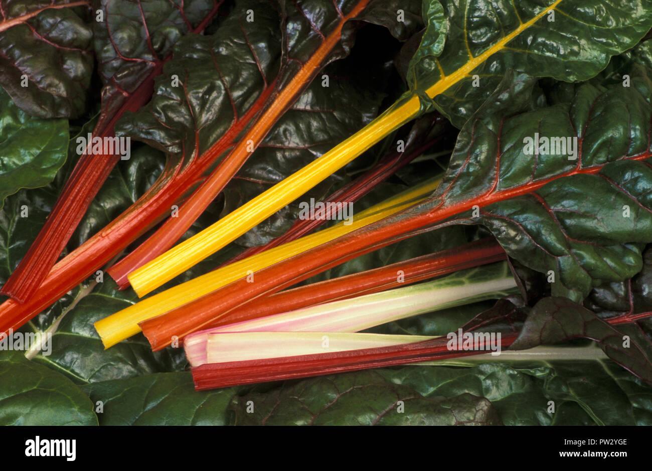 RAINBOW CHARD (SILVERBEET) BETA VULGARIS SSP. CICLA. - Stock Image