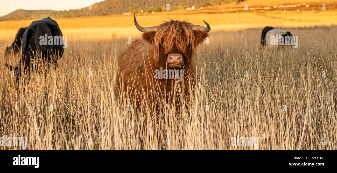 Highland cows on the farm during the day - Stock Image