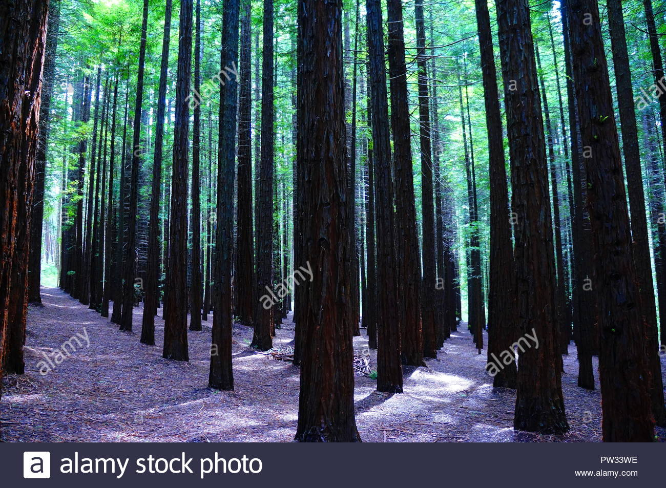 The Redwood forest of warburton - Stock Image