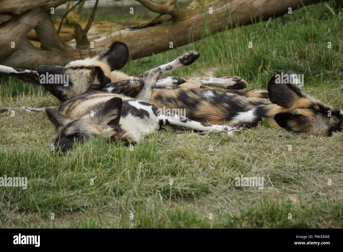 Colorful spotted African wild dogs sleeping in a pile on a hot summer day in the grass at the zoo - Stock Image